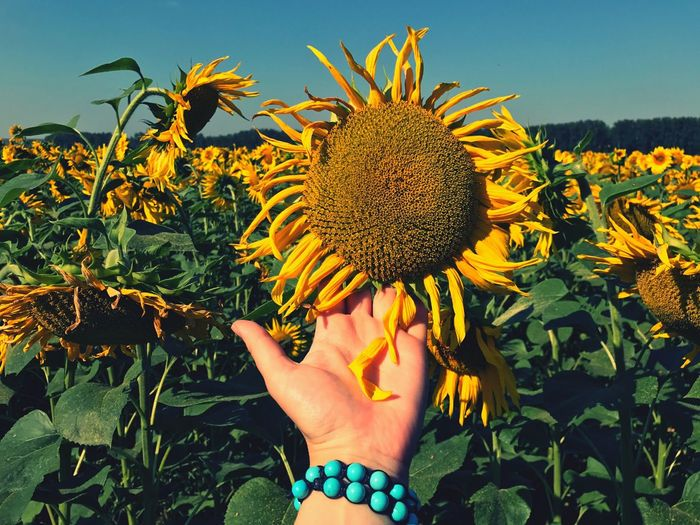 Low angle view of woman hand against sunflower