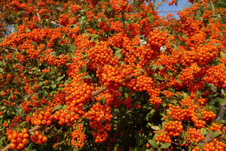 Beauty In Nature Bush Close-up Fruits Garden Orange Color Ornamental Plant Outdoors Pyracantha Coccinea Red Spring