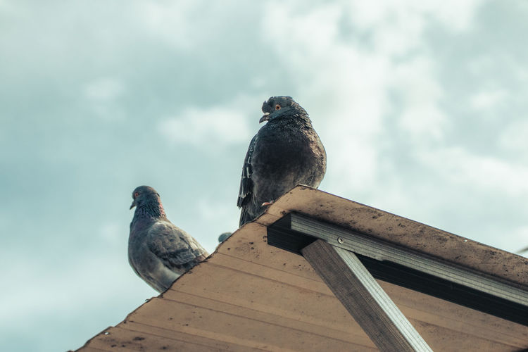 Low angle view of pigeon perching on wood against sky