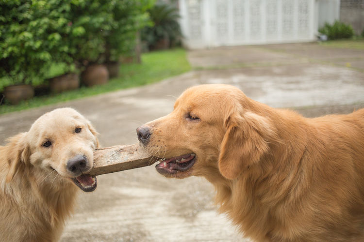 Wood Retriever Animal Animal Body Part Animal Head  Animal Themes Brown Capture The Moment Close-up Day Dog Domestic Animals Fun Funtimes Golden Retriever Goldenretriever Looking Mammal Pets Play Playing Stick Toy Toys Two Animals Wood