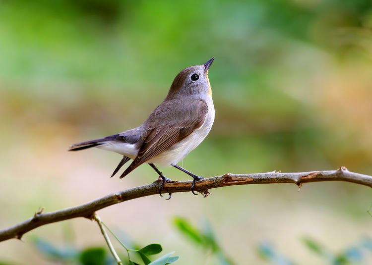 Animal Wildlife Vertebrate Animal Themes Animal One Animal Perching Bird Animals In The Wild Focus On Foreground Close-up Day No People Branch Robin Nature Plant Selective Focus Outdoors Beauty In Nature Tree