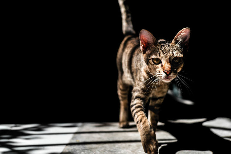 Portrait Of Tabby Cat Walking On Floor In Darkroom