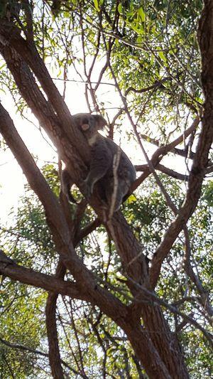 Animal Themes Low Angle View Tree Mammal Animal Wildlife One Animal Branch No People Animals In The Wild Nature Day Sky Koala Bear Baboon Koala On A Tree