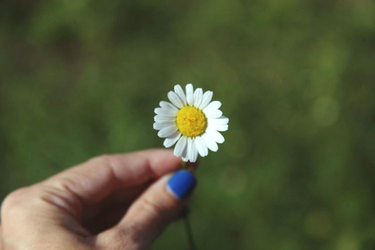 Cropped image of woman holding daisy
