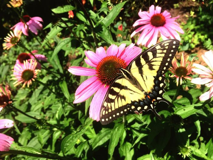Tiger Swallowtail Mix Yourself A Good Time