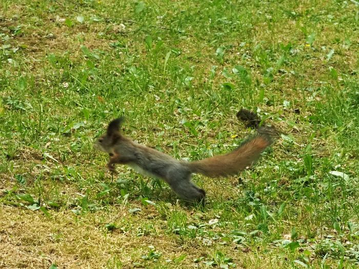 Jumping Jumping Squirrel Animal Wildlife Green Nature Animalphotography Moving On Full Length High Angle View Sunlight Field Grass Green Color Squirrel Tail Whisker