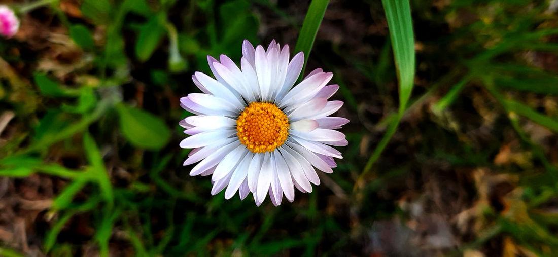 Close-up of purple daisy flower on field