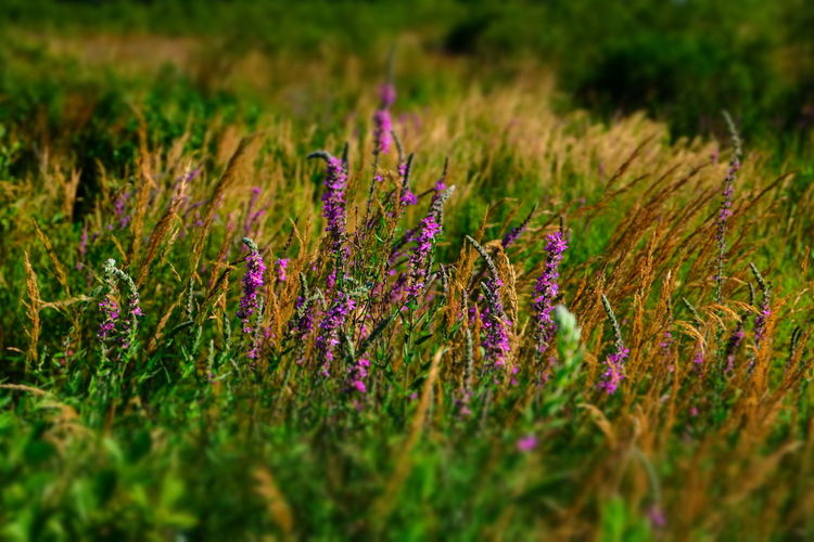 Cooper Marsh Lancaster Ontario Marsh Beauty In Nature Canada Day Flower Flower Head Flowering Plant Grass Green Color Land Marshland  Nature No People Outdoors Plant Selective Focus Tranquility