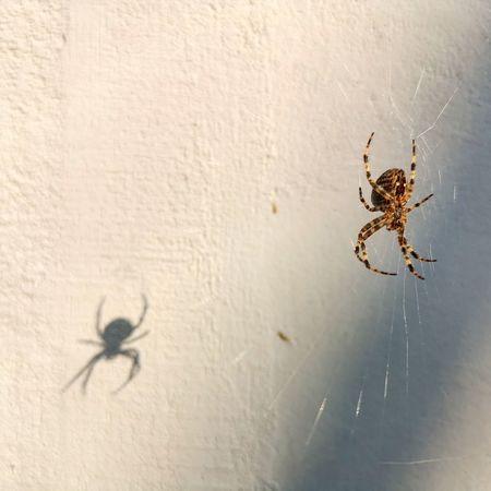 EyeEm Selects Insect Spider Web Spider Animal Leg Close-up Web Arachnid Arthropod Jumping Spider