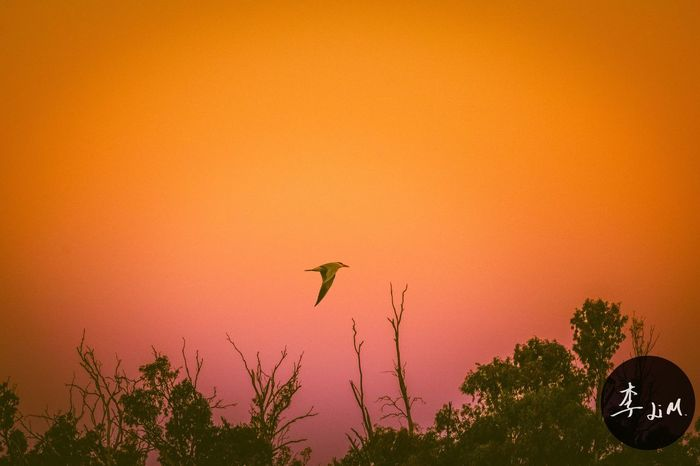 Bird Animals In The Wild Animal Wildlife Sunset Flying Nature Animal Themes Beauty In Nature Tree No People One Animal Growth Outdoors Low Angle View Day Spread Wings Sky Dusk Evening Sky Eveningglow Sunset Pinky Sky Outbackaustralia Southaustralia Murray River