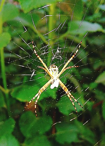 A Dona Aranha subiu pela parede... Aranha Aracnideo Aracnideos Jardim Natureza 🐦🌳