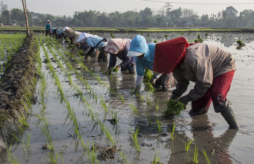 The Farmers at Widodaren Village, Ngawi Indonesia plant paddy together in the paddyfield Agriculture Bending Crop  Day Farm Farm Worker Farmer Gardening Hat Men Nature Occupation Outdoors People Plant Planting Real People Reflection Rice - Cereal Plant Rural Scene Water Working