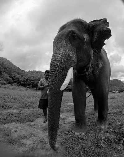Elephant Mammal Animal Trunk Animal Themes One Animal Full Length Animal Wildlife Outdoors Day Sky Tusk Domestic Animals Nature African Elephant No People Thailand EyeEmNewHere