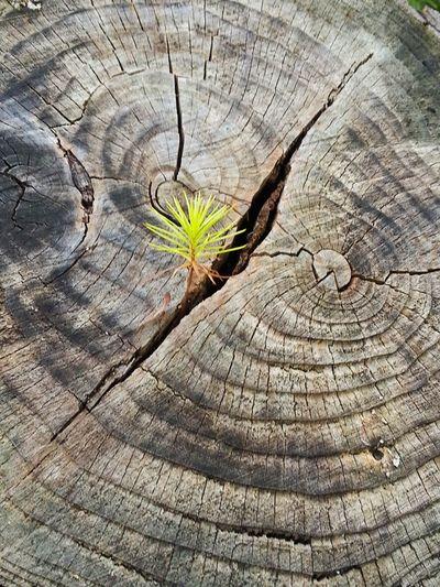 Breakthrough Stump Treestump Wood Plant Nature Outdoors Outdoor Treecrack Tree Beauty