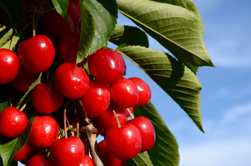 Low angle view of cherries on tree