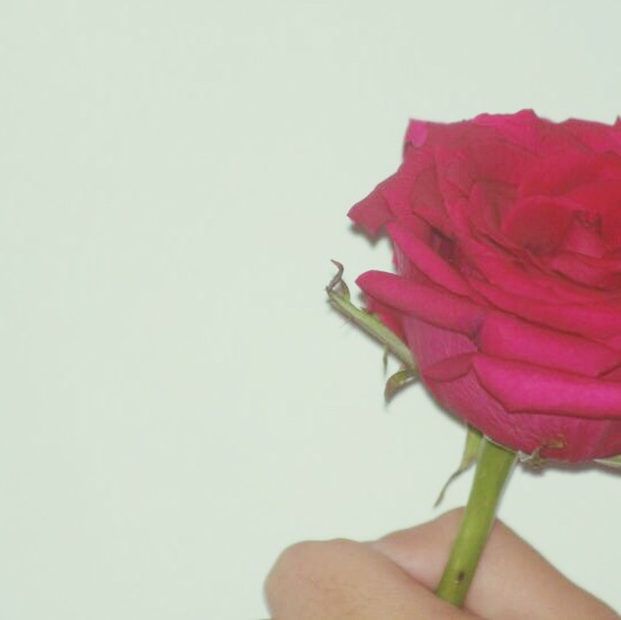 person, white background, cropped, studio shot, part of, holding, red, close-up, copy space, human finger, freshness, unrecognizable person, indoors, flower, personal perspective, focus on foreground, rose