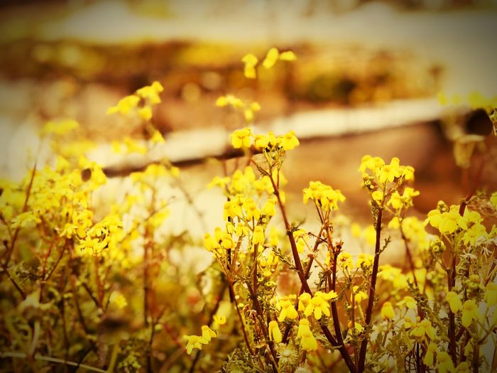 Yağmurdamlası Mersin Flowering Plant Flower Plant Yellow Growth Focus On Foreground Beauty In Nature Vulnerability  Fragility Nature Freshness No People Tranquility Selective Focus Day Sunlight Close-up Outdoors Field Land My Best Photo