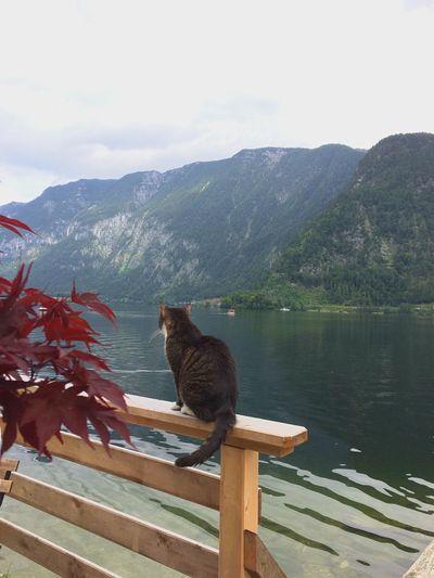 Hallstatt, Austria Restaurant Niceview Lonely Cat