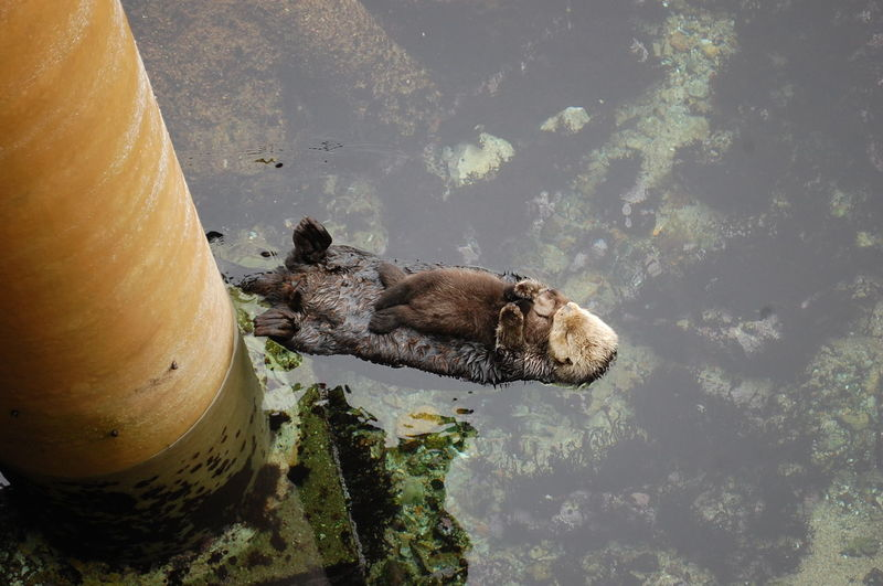 Animal Themes Animals In The Wild Baby Animals Floating On Water Monterey Bay Monterey Bay Aquarium Newborn Sea Otters Water Wildlife