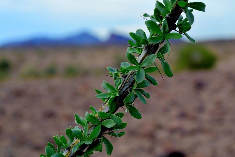 Cactus Arizona OcotilloTree Ocotillo Cactus Desert Macro Bokeh