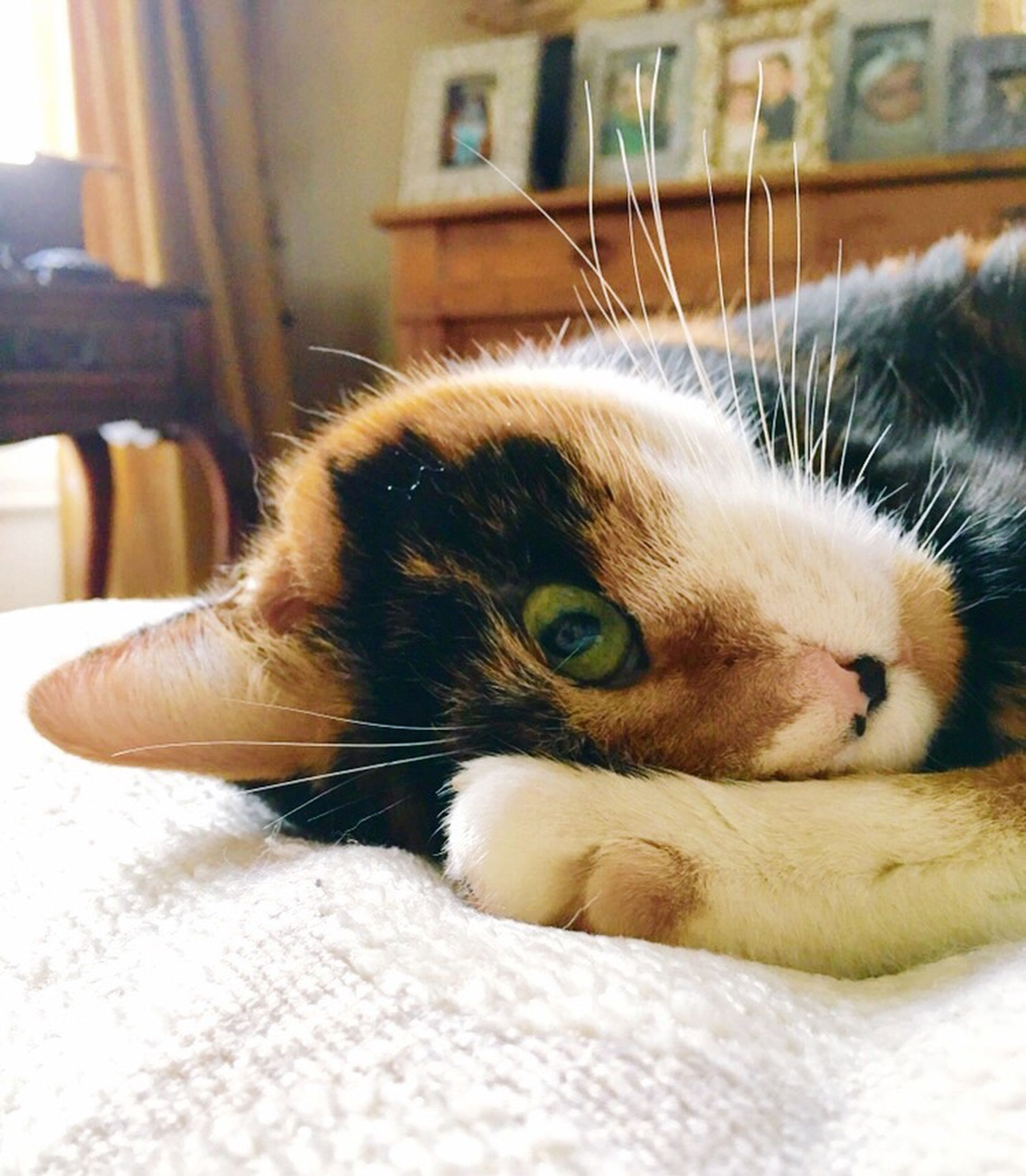 domestic cat, pets, domestic animals, one animal, animal themes, mammal, feline, close-up, indoors, no people, day