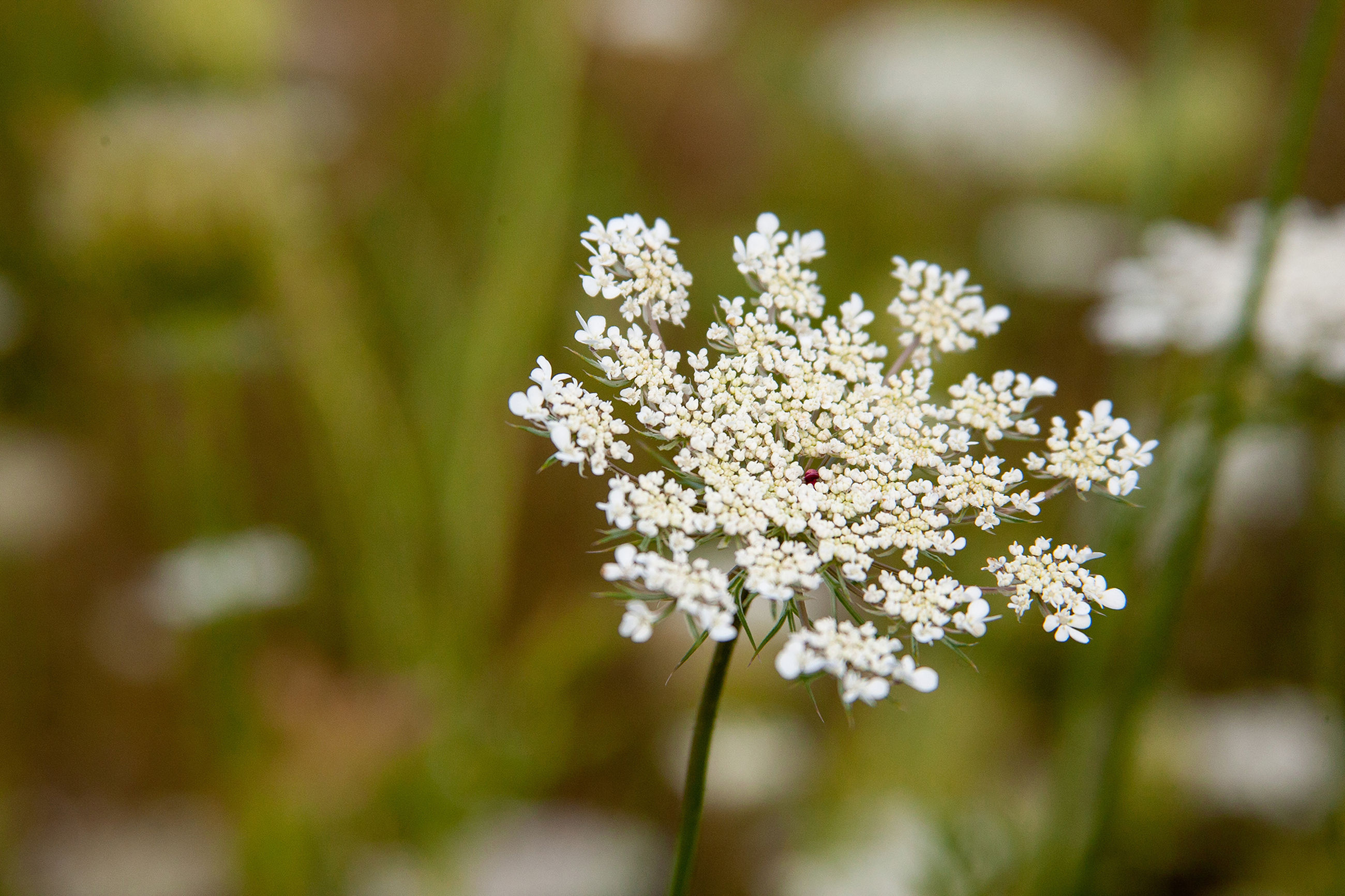 flower, flowering plant, plant, beauty in nature, freshness, fragility, vulnerability, growth, white color, selective focus, day, nature, close-up, focus on foreground, flower head, inflorescence, no people, outdoors, field, petal