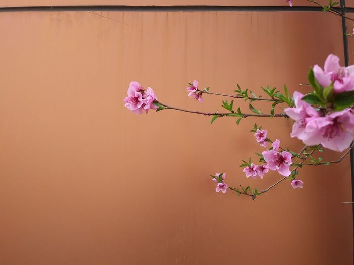 Close-up of pink cherry blossoms against wall
