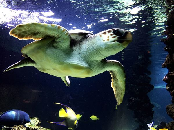 BigTurtle in the aquarium Water Swimming Animal Themes Underwater No People Animals In The Wild Nature Mammal Beauty In Nature Aquarium Sea Life