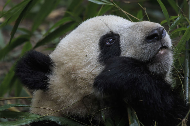 Close up of a Giant Panda (Ailuropoda melanoleuca) in Chengdu - Sichuan, China Panda China Sichuan Asian  ASIA Giant Panda Ailuropoda Melanoleuca Chengdu Zoo Bamboo Habitat Animal Bear Endangered Species