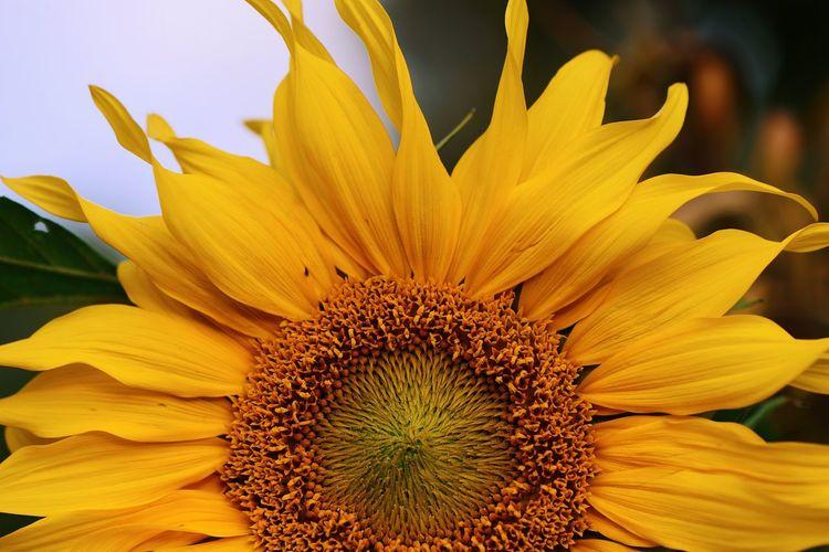 Flowering Plant Flower Fragility Vulnerability  Plant Beauty In Nature Flower Head Pollen Petal Freshness Botany Sunflower