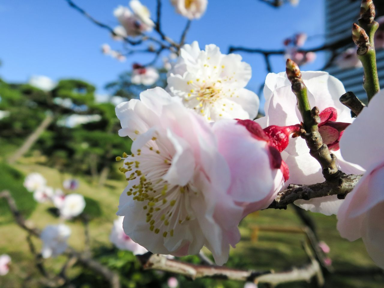 flower, fragility, petal, beauty in nature, growth, blossom, white color, nature, flower head, springtime, tree, botany, freshness, close-up, day, no people, branch, outdoors, pollen, stamen, plum blossom, blooming
