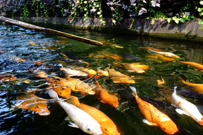 High angle view of koi carps in pond