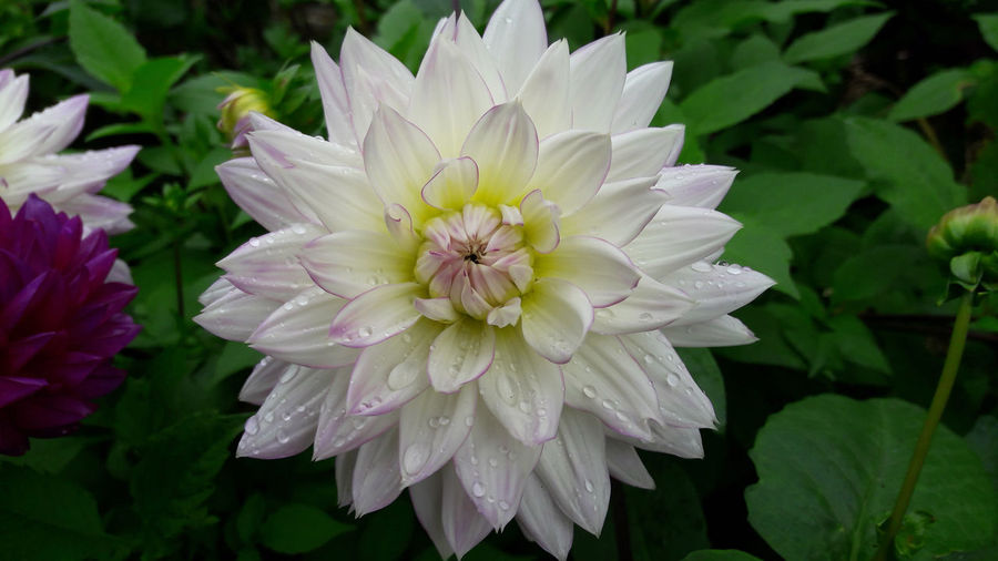 Dhalia White Perfection Beauty In Nature Blooming Close-up Day Flower Flower Head Focus On Foreground Fragility Freshness Growth Nature No People Outdoors Petal Plant White Color