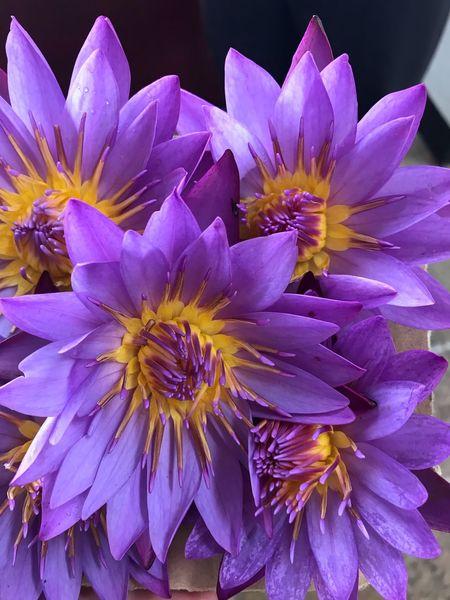 Lotto flower Lotoflower Flowering Plant Flower Plant Petal Freshness Vulnerability  Fragility Purple