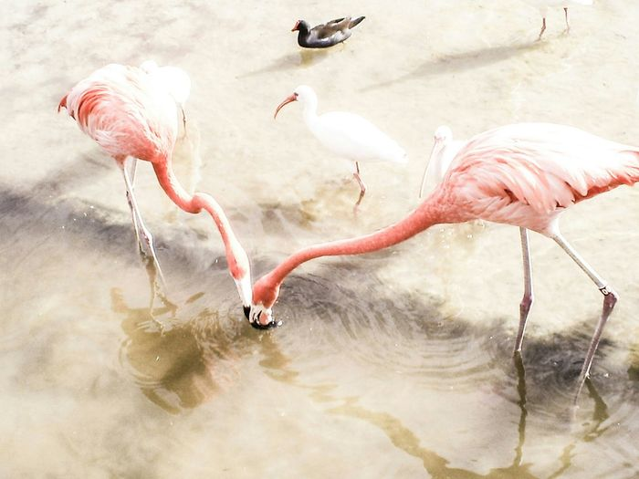 High angle view of flamingoes and white ibis in lake