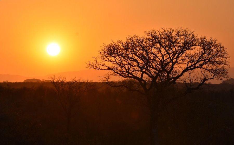 Out of Africa Bornfree Sunset Safari Krugernationalpark Nationalgeographic Getty Images Happyhour Singletree Orangesky Orangesunset Beauty In Nature Bare Tree Tranquil Scene Idyllic EyeEm Nature Lover EyeEm Best Shots Sabi Sands Nature Colorsplash