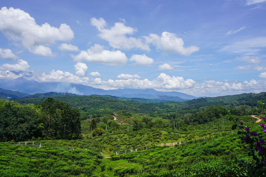 Scenics - Nature Beauty In Nature Cloud - Sky Sky Landscape Environment Mountain Tranquil Scene Tranquility Plant Green Color Growth Nature Land Tree Agriculture Field Day Mountain Range Rural Scene No People Outdoors Tea Crop Plantation Winemaking