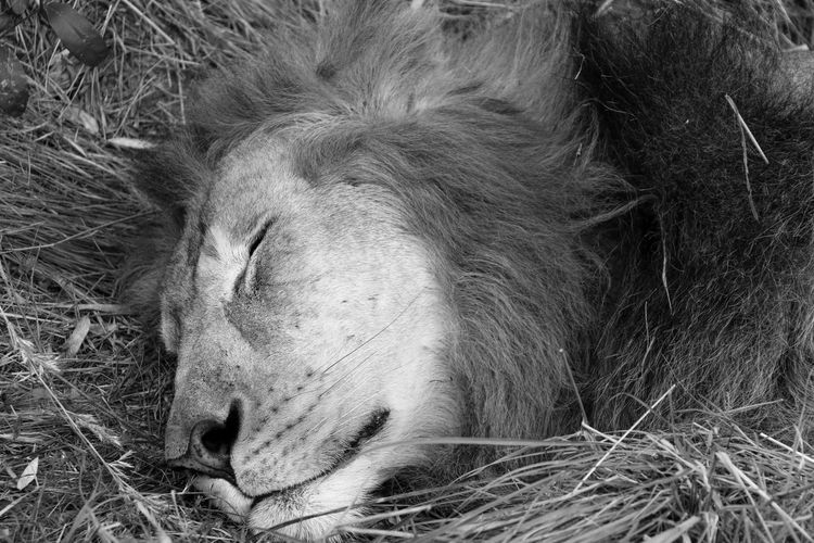 Animals In The Wild Close-up Forest Photography King Of The Jungle Lions Mane Majestic Lion Majestic Nature Mane Nature_collection Sleeping King Wildlife Photography