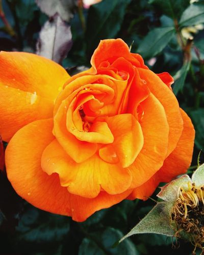 A Beautiful Close-up of a Bright Orange Rosé . Featuring Flower Petal Orange Color Flower Head Nature Rose - Flower Freshness Outdoors Fragility Beauty In Nature Growth Day Plant No People Green Beauty In Nature Background Focus On Foreground Leaf Growth