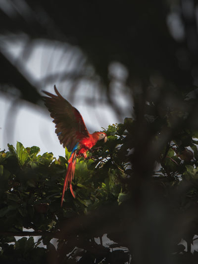 A beautiful macaw after his breakfast in the trees. Exotic Animal Themes Animal Wildlife Animals In The Wild Bird Bird Flying Bird Tree Birds Exotic Wildlife Low Angle View Macaw Macaw Parrot Nature No People One Animal Parrot Perching Red Tree Wildlife