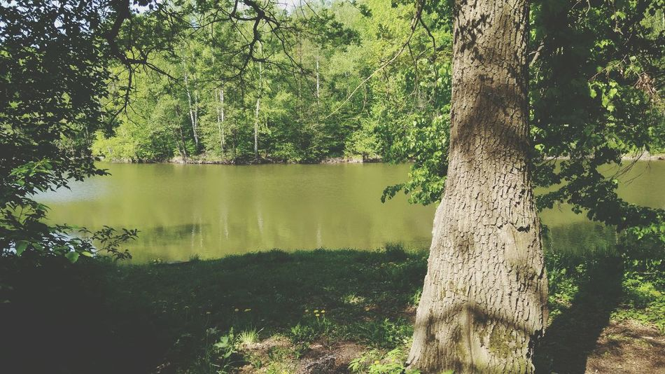 Tree Tree Trunk Nature Growth Water Lake Green Color Outdoors Day No People Beauty In Nature Tranquility Grass EyeEm Gallery 3XSPUnity EyeEm 3XSPUnity 3XSP Pine Tree The Street Photographer - 2017 EyeEm Awards Beauty In Nature Reflection High Angle View Nature Pinaceae Forest