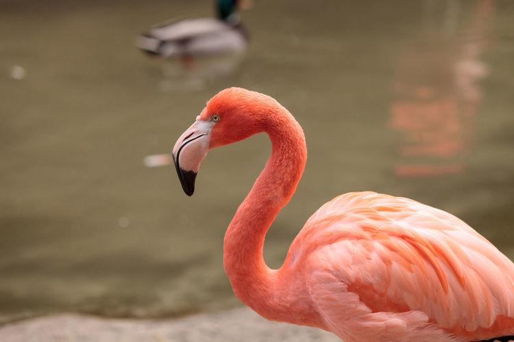 Pink Caribbean flamingo, Phoenicopterus ruber, in the middle of flock flamingos during breeding season. Avian Beak Bird Breeding Season Caribbean Flamingos Feather  Flamingo Flock Of Birds Long Neck  Phoenicopterus Ruber Pink Pink Flamingo Wildbird Wildbirds Wildlife