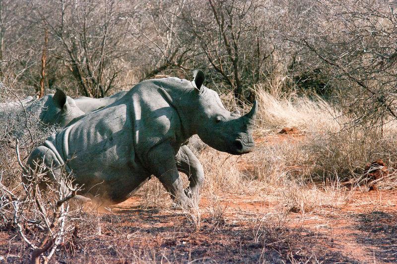 Rhinoceros running in forest