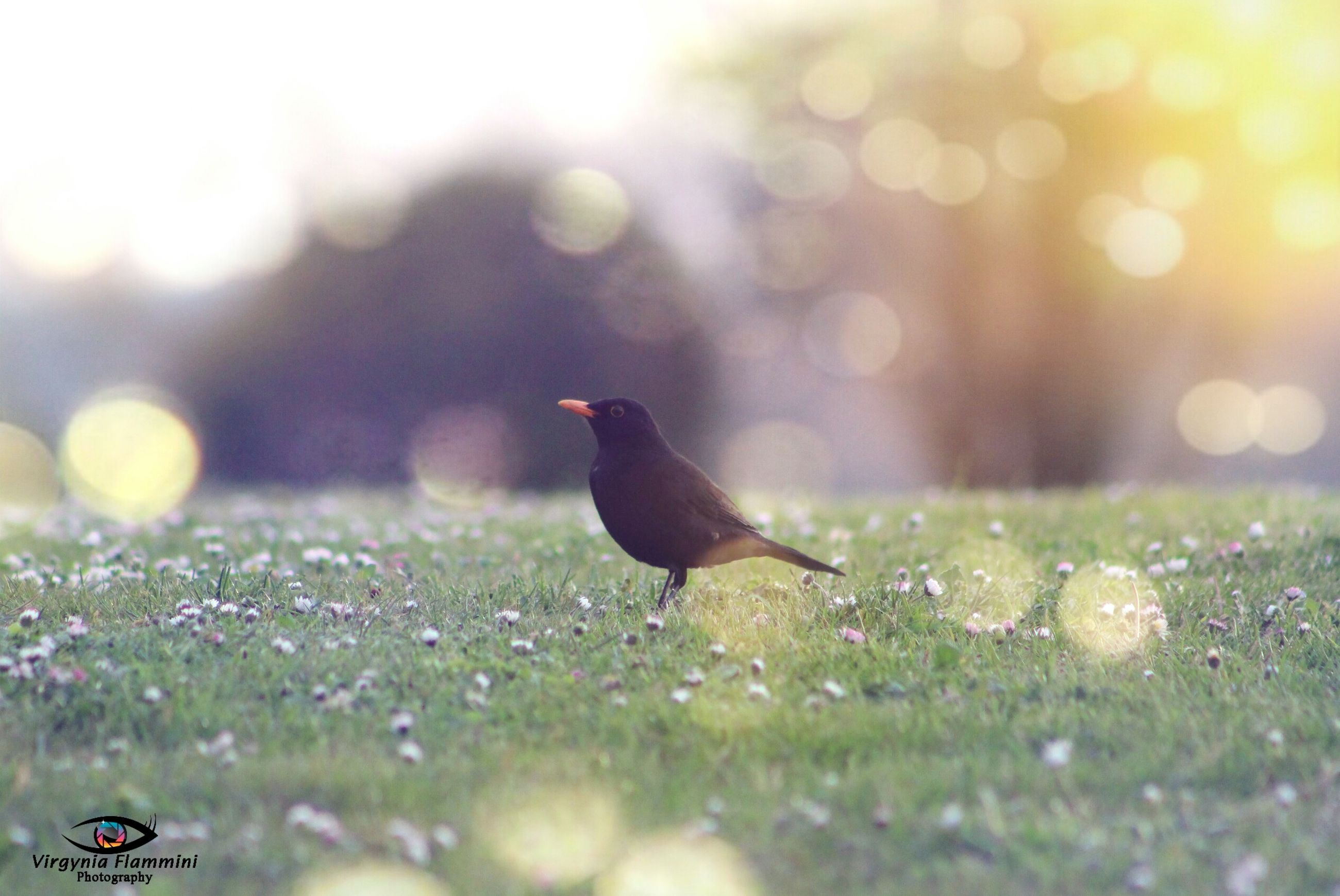 animal themes, one animal, selective focus, animals in the wild, focus on foreground, grass, bird, wildlife, nature, field, close-up, outdoors, black color, no people, full length, day, side view, beauty in nature, sunlight, grassy