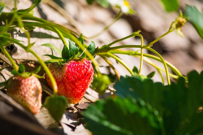 Agriculture Chiang Mai | Thailand Farm Plant Sunlight Thailand Branch Close-up Flower Food Food And Drink Freshness Fruit Garden Green Color Growth Harvest Healthy Eating Leaf Nature Red Selective Focus Strawberry Tree Tree's