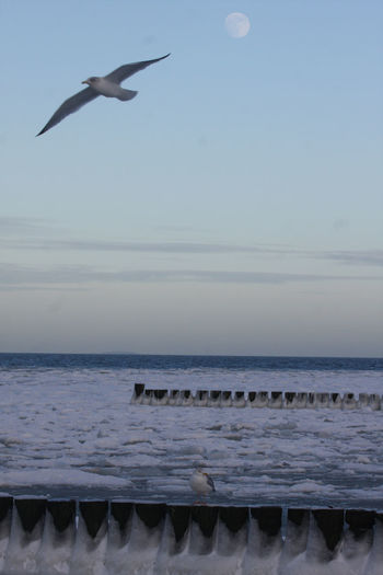 Animals In The Wild Baltic Sea Winter Beach Bird Calm Dawn Flying Horizon Over Water Ostsee Outdoors Scenics Sea Seagull Shore Sky Solitude Spread Wings Tranquil Scene Tranquility Water Wildlife