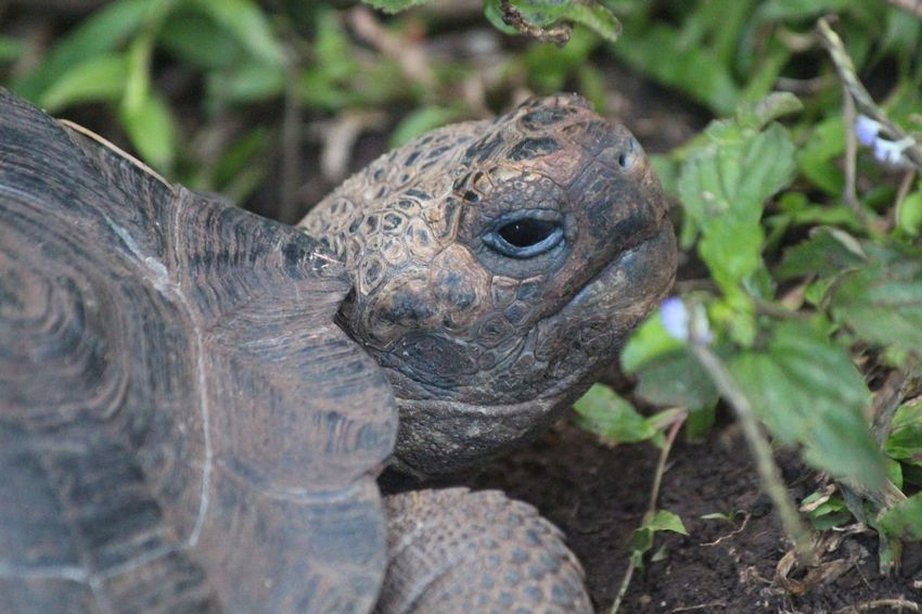 Giant Tortoise Animal Wildlife Tortoise Close-up Tortoise Shell Galapagos Islands Galapagos Nature Beauty In Nature Outdoors
