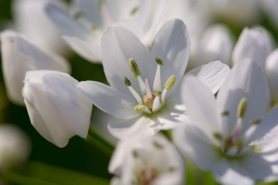 Close up white flowers Beauty In Nature Blooming Close-up Contrast Day Flower Flower Head Fragility Freshness Growth Mediterranean  Nature No People Outdoors Petal Plant Springtime Summer White Color White Green