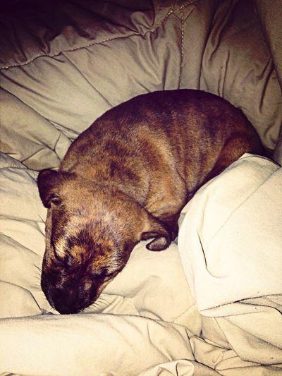 My Sheba sleeping I Love My Dog Cute Pets Cute♡ My Baby