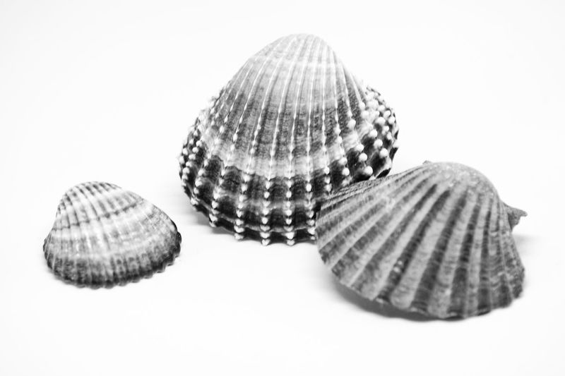 Animal Shell Seashell No People Sand Nature Close-up White Background Indoors  Sea Life Blackandwhite Black And White Black And White Photography Shells Beach Shell Photography Beauty In Nature Darkness And Light Sommergefühle EyeEm Selects Be. Ready. Black And White Friday